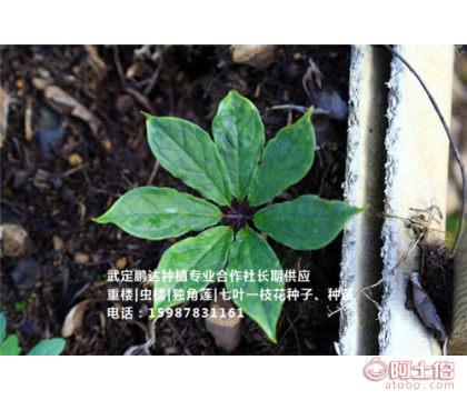 贵州七叶一枝花种苗 贵州七叶一枝花种子 -武定鹏达种植专业合作社