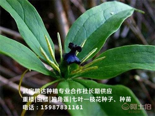湖南七叶一枝花种苗 湖南七叶一枝花种子 -武定鹏达种植专业合作社