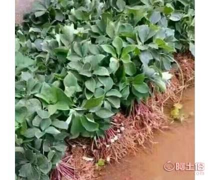 贵州七叶一枝花厂家|七叶一枝花种子