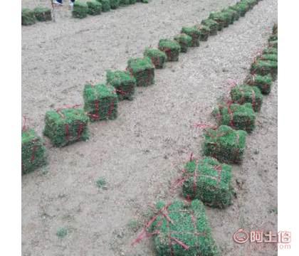 海南【马尼拉草草坪】批发|海南【马尼拉草皮】供应商价格