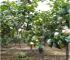梨树苗_秋月梨树苗-山东梨树苗木种植基地