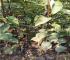 晚秋黄梨树苗三年结果/亩产量高