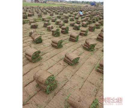 中山马尼拉草批量|马尼拉草带泥土出售优质一手货源