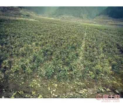贵州香柚苗_香柚苗种植基地_纯正香柚苗品种