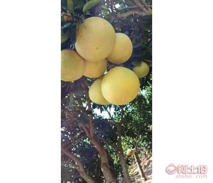【2-3公分蜜柚苗】汕头万山香柚苗木种植园