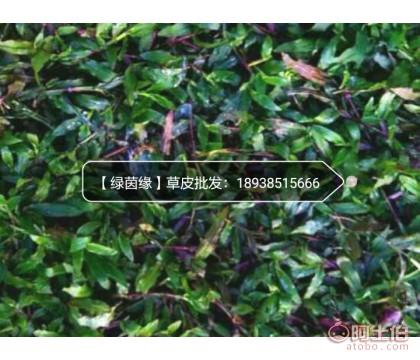 大叶油草皮出售 马尼拉草皮批发 东莞.惠州 基地